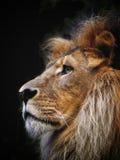 Το μεγαλοπρεπές λιοντάρι Στοκ Εικόνες