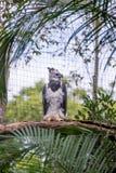 Το μεγαλοπρεπές harpy πουλί αετών στη Βραζιλία Στοκ Εικόνα