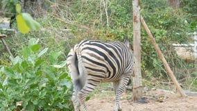 Το με ραβδώσεις βόσκει σε ένα λιβάδι στο ζωολογικό κήπο kheo khao, Ταϊλάνδη απόθεμα βίντεο