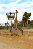 Το με ραβδώσεις και giraffe τρώνε στοκ φωτογραφία με δικαίωμα ελεύθερης χρήσης