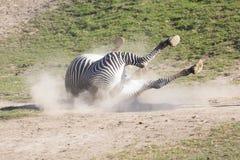 Το με ραβδώσεις του Grevy, grevyi Equus, ξεφορτώνεται τα παράσιτα Στοκ Εικόνες