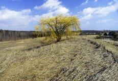 Τολμηρό κίτρινο δέντρο ιτιών που στέκεται μεγαλοπρεπές και ψηλό στη μέση στοκ φωτογραφίες