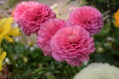 Τολμηρό και όμορφο ρόδινο λουλούδι Στοκ Φωτογραφία