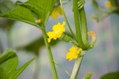 Το μικρά πεπόνι και τα λουλούδια μωρών στον κήπο Στοκ Φωτογραφίες