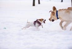 Το μικροσκοπικό σκυλί υπερασπίζει το παιχνίδι του από το μεγάλο σκυλί με το άλμα και να επιτεθεί στοκ εικόνες με δικαίωμα ελεύθερης χρήσης