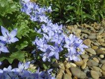 Το μικροσκοπικό campanula παίρνει mee ή ζωή bellflowers καλλιεργώντας ακόμα με το φυσικό φως Όμορφο υπόβαθρο άνοιξη με την ανθοδέ Στοκ φωτογραφίες με δικαίωμα ελεύθερης χρήσης