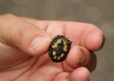 Το μικροσκοπικό Turle στοκ εικόνα