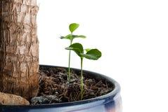 Το μικρόβιο ενός λεμονιού flowerpot Στοκ Εικόνα