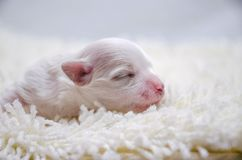 Το μικρό άσπρο κουτάβι κοιμάται Στοκ φωτογραφία με δικαίωμα ελεύθερης χρήσης