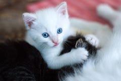 Το μικρό άσπρο παιχνίδι γατακιών Στοκ Εικόνες
