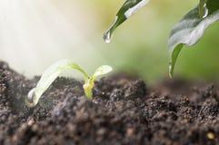 Το μικρό δέντρο μεγαλώνει με την ηλιοφάνεια και ποτίζει την πτώση στο φύλλο, έννοια μέσα εκτός από τον κόσμο Στοκ Εικόνες