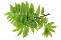 Το μικρό ελατήριο Απρίλιος διακλαδίζεται wis φύλλα του δασικού κόκκινου ashberry TR Στοκ φωτογραφία με δικαίωμα ελεύθερης χρήσης