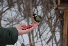 Το μικρό κίτρινο πουλί tomtit σε ετοιμότητα παίρνει το φυστίκι στοκ εικόνα με δικαίωμα ελεύθερης χρήσης