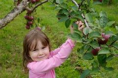 Μήλα επιλογής Στοκ εικόνες με δικαίωμα ελεύθερης χρήσης