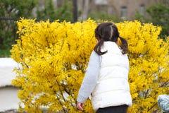 το μικρό κορίτσι με τις ουρές ρουθουνίζει τα κίτρινα λουλούδια θάμνων στοκ εικόνα με δικαίωμα ελεύθερης χρήσης