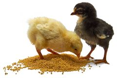 Το μικρό κοτόπουλο δύο σχαρών τρώει το σιτάρι που απομονώνεται στο λευκό στοκ εικόνες
