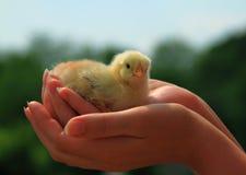Κοτόπουλο στους φοίνικες Στοκ εικόνα με δικαίωμα ελεύθερης χρήσης