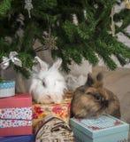 Το μικρό κουνέλι δύο κάθεται κάτω από το χριστουγεννιάτικο δέντρο Στοκ Εικόνα
