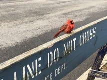 Το μικρό κόκκινο πουλί της Robin που σκαρφαλώνει στο σημάδι αστυνομίας δεν διασχίζει το φράκτη οδοφραγμάτων στοκ φωτογραφίες με δικαίωμα ελεύθερης χρήσης