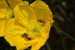 Το μικρό μέλι συλλέγει τη γύρη στην ανθισμένη παπαρούνα στον κήπο Στοκ Εικόνες