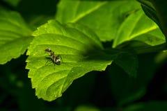 Το μικρό μυρμήγκι πλένει σε ένα πράσινο φύλλο Μακροεντολή Στοκ φωτογραφία με δικαίωμα ελεύθερης χρήσης