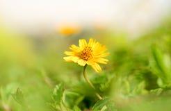 Το μικρό λουλούδι ήλιων είναι λάμποντας το πρωί Στοκ εικόνες με δικαίωμα ελεύθερης χρήσης