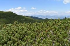 Το μικρό πεύκο Mugo πεύκων βουνών που καλύπτει τις αιχμές Durmitor ` s στοκ εικόνες με δικαίωμα ελεύθερης χρήσης