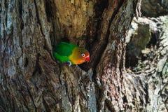 Το μικρό πουλί φρουρεί τη φωλιά Serengeti, Τανζανία Στοκ φωτογραφία με δικαίωμα ελεύθερης χρήσης
