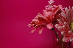 Το μικρό ροζ αντέχει πάνω από ένα ρόδινο λουλούδι της Daisy στοκ εικόνες με δικαίωμα ελεύθερης χρήσης
