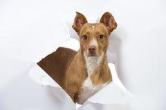 Το μικρό σκυλί έσπασε το έγγραφο Στοκ Εικόνα