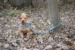 Το μικρό σκυλί είναι δεμένο σε ένα δέντρο που εγκαταλείπεται Στοκ Φωτογραφίες