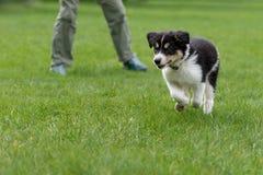 Το μικρό σκυλί κουταβιών κόλλεϊ συνόρων περικοπών τρέχει με τον ιδιοκτήτη του πέρα από ένα πράσινο λιβάδι στοκ εικόνα