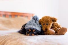 Το μικρό σκυλί σε ένα κρεβάτι με χαριτωμένο έναν teddy αντέχει Στοκ φωτογραφία με δικαίωμα ελεύθερης χρήσης
