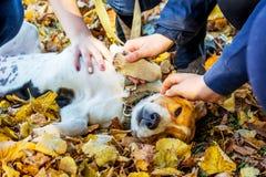 Το μικρό σκυλί των φυλών ένα εσθονικό κυνηγόσκυλο που βρίσκεται σε ένα φθινόπωρο βγάζει φύλλα και χάδι its_ χεριών των παιδιών στοκ εικόνες με δικαίωμα ελεύθερης χρήσης