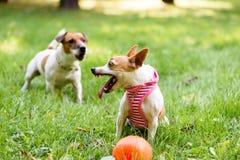 Το μικρό σκυλί υπερασπίζει το παιχνίδι της που παρουσιάζει τους κυνόδοντες και αποφλοίωση στοκ εικόνες με δικαίωμα ελεύθερης χρήσης