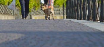 Το μικρό σκυλί ακολουθεί τους κυρίους Στοκ εικόνα με δικαίωμα ελεύθερης χρήσης