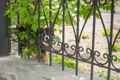 Το μικρό σκυλί που κοιτάζει μέσω του φράκτη Στοκ Εικόνα