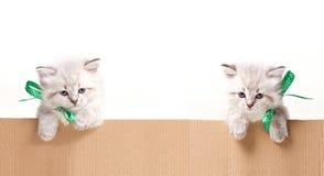 Δύο μικρά γατάκια κοιτάζουν έξω από το κιβώτιο Στοκ Φωτογραφία