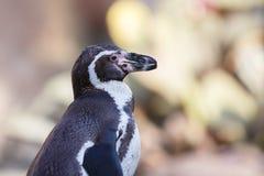 Το μικρό penguin Στοκ Εικόνες