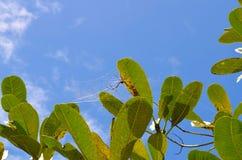 Το μικρό spader δημιουργεί τον ιστό αράχνης μεταξύ βγάζει φύλλα Στοκ Φωτογραφία