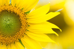 Το μισό από το λουλούδι ήλιων Στοκ Εικόνα