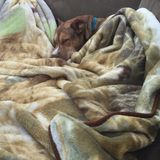 Το μοσχοκάρυδο σκυλιών μου Στοκ εικόνα με δικαίωμα ελεύθερης χρήσης
