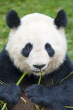 το μπαμπού αντέχει το γιγαντιαίο panda Στοκ εικόνα με δικαίωμα ελεύθερης χρήσης