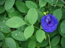 Το μπιζέλι πεταλούδων ανθίζει το μπλε χρώμα με το πράσινο φύλλο μετά από την πτώση βροχής Στοκ εικόνες με δικαίωμα ελεύθερης χρήσης