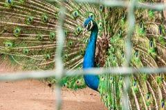 Το μπλε θηλυκό peacock, cristatus pavo, πίσω από συγκεντρώνει τους φραγμούς στοκ φωτογραφία