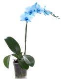 το μπλε λουλούδι ανθίζ&epsil Στοκ εικόνα με δικαίωμα ελεύθερης χρήσης