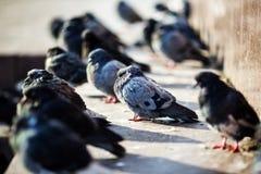 Το μπλε περιστέρι πουλιών πόλεων κάθεται με το γέλιο φίλων του στοκ εικόνες