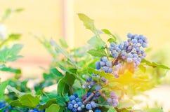 Το μπλε Όρεγκον-σταφύλι aquifolium Mahonia μούρων ή το σταφύλι και ο Μπους του Όρεγκον είναι ένα είδος ανθίζοντας φυτού στην οικο Στοκ εικόνες με δικαίωμα ελεύθερης χρήσης