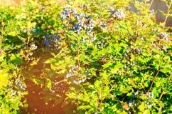 Το μπλε Όρεγκον-σταφύλι aquifolium Mahonia μούρων ή το σταφύλι και ο Μπους του Όρεγκον είναι ένα είδος ανθίζοντας φυτού στην οικο στοκ εικόνες
