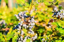 Το μπλε Όρεγκον-σταφύλι aquifolium Mahonia μούρων ή το σταφύλι και ο Μπους του Όρεγκον είναι ένα είδος ανθίζοντας φυτού στην οικο Στοκ Φωτογραφίες